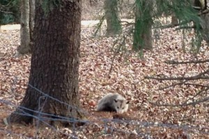 opossum in the forest