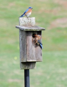two bluebirds perched outside a wooden nest box.