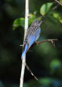 male bluebird perched on a stem