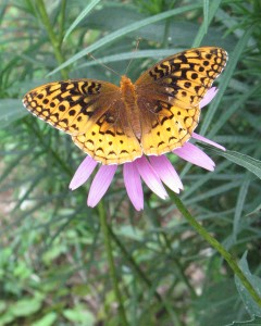 great spangled fritillary butterfly with wings open