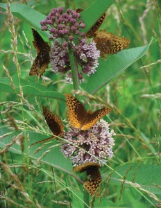 numerous butterflies on blooming Common Milkweed plant
