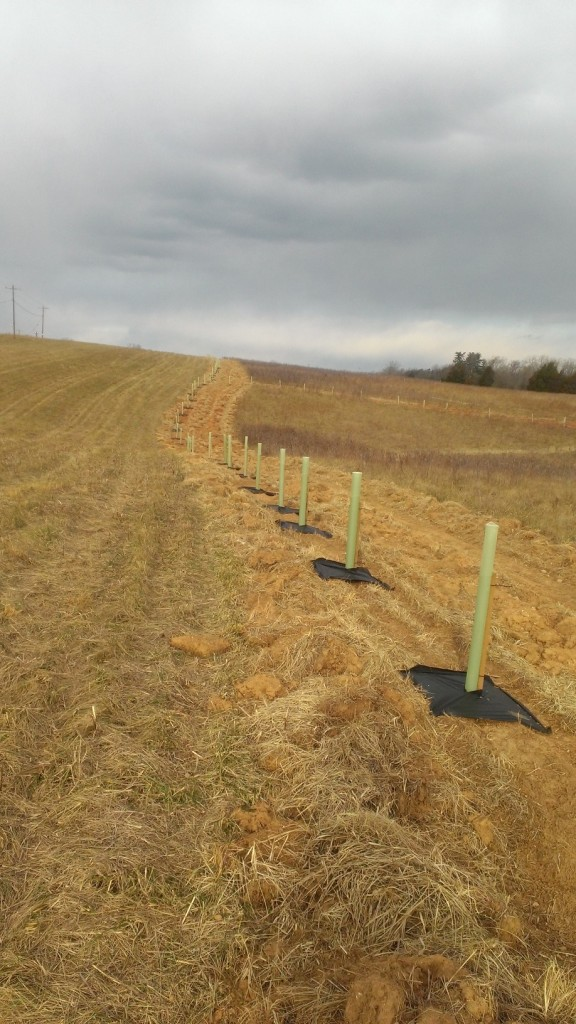 Newly planted trees with protective tubes in a line across a field